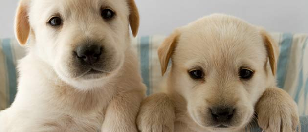 Non-Degree Diploma in Companion Animal Nutrition - picture of two puppies