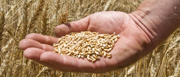 Hand holding grain in a field of wheat - dietitian degree