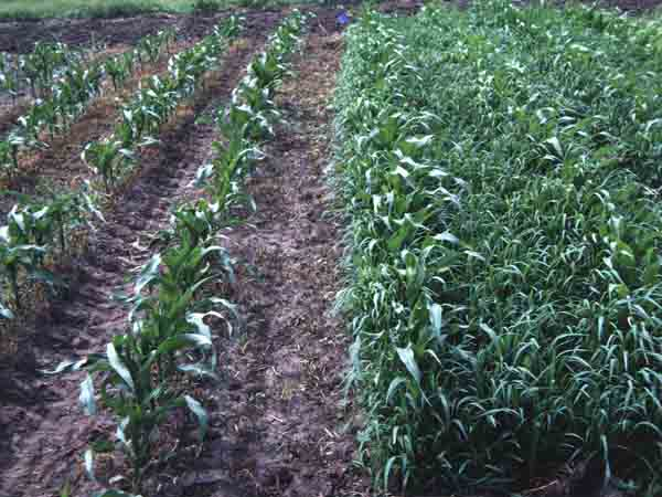 Herbicide-Resistant Weeds Affecting Soybean Fields | College of ...